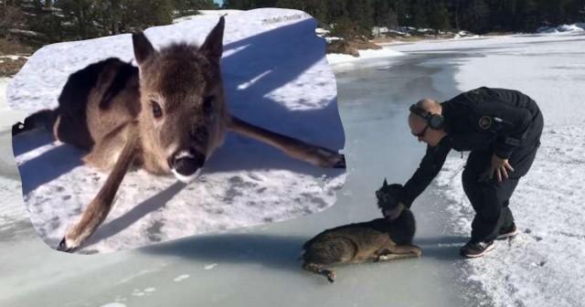 Видео: Подтаявший лёд порой становится непреодолимым препятствием для вот таких малышей!