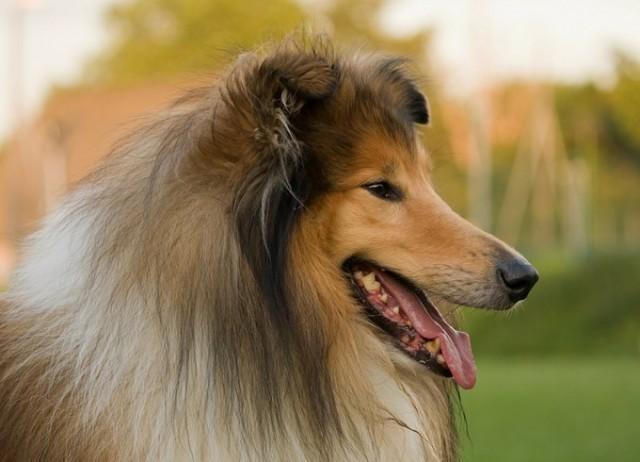 Удивительные способности животных: собака нашла дорогу из Англии в Уэльс