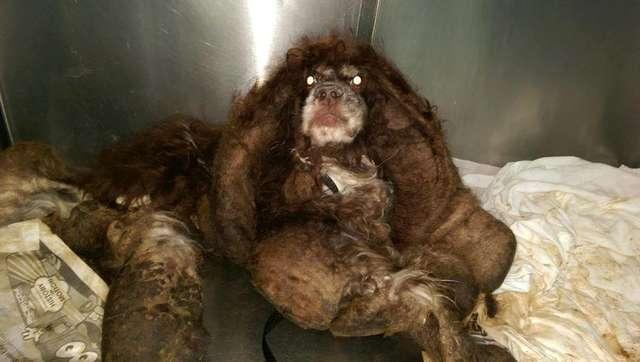 Ветеринары состригли с этого зверя почти 3 кг меха. И тогда стало понятно, что это милашка-спаниель - Видео!