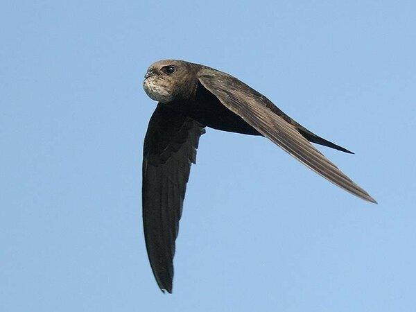 Чёрный стриж лежал на обочине и беспомощно бил крыльями