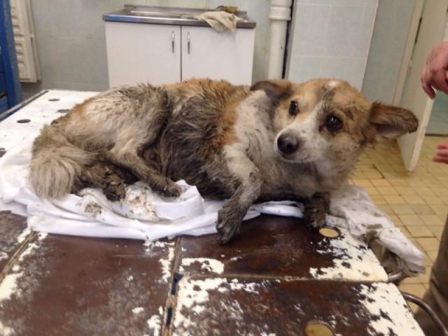 Просто невероятная история в Перми, как раненая собака показала волонтерам, где ее дом