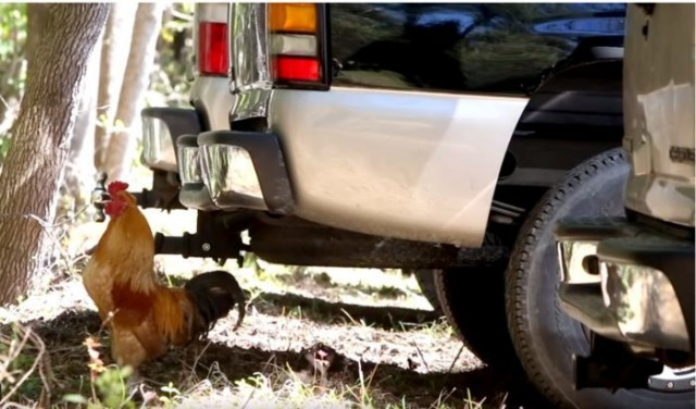 Видео: Бродячий петух однажды пришёл в автосалон и решил остаться там. Сотрудники не смогли ему отказать