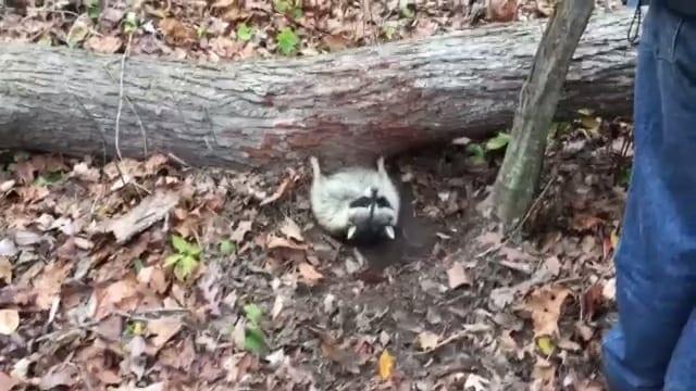 Видео: Операция по спасению енота, которого придавило упавшим деревом