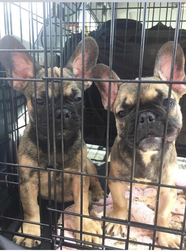 Полицейские задержали машину, а а в ней… оказалось 28 щенков укрывались в клетках в отсутствии пищи и воды!