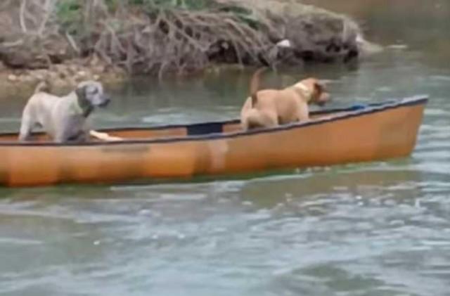 Две собаки оказались в ловушке, несясь в каноэ по реке. Но только посмотрите, кто пришел им на помощь - Удивительное Видео!