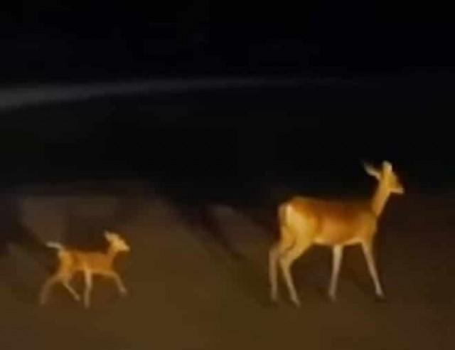 В воде бился олененок, теряя силы, и парень бросился спасать кроху. А в лесу зверька уже ждали