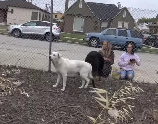 Волонтеры принялись искать бродячую беременную собаку - лабрадора, но она уже родила и успела припрятать своих щенков от глаз подальше