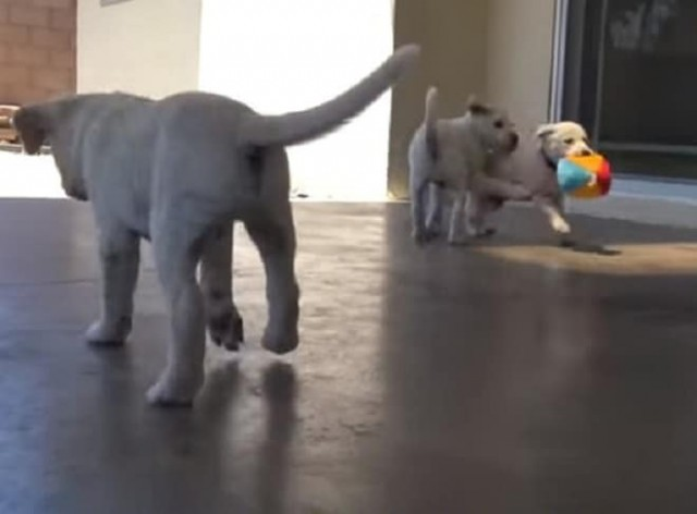 бродячая беременная собака