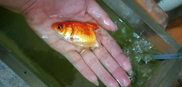 Золотая рыбка заболела, и у неё отвалился хвостик. Но хозяйка не отчаялась, и теперь малышку не узнать
