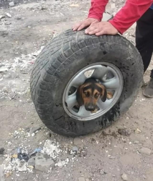 """""""Любопытная Варвара"""": Собачка застряла в колесном диске и рвалась на волю. Видео!"""
