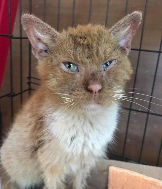 Облезлый кот плакал, как ребенок. Он был болен и нуждался в помощи. Посмотрите, каким он стал красавцем благодаря помощи волонтеров!