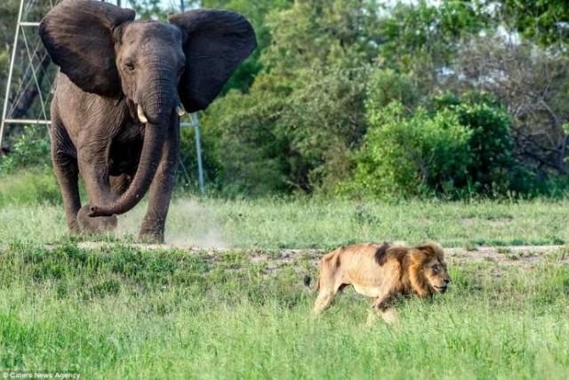 «Нет мне места в вашем прайде…» 11 Фото льва-изгнанника из национального парка потрясают своей честностью!