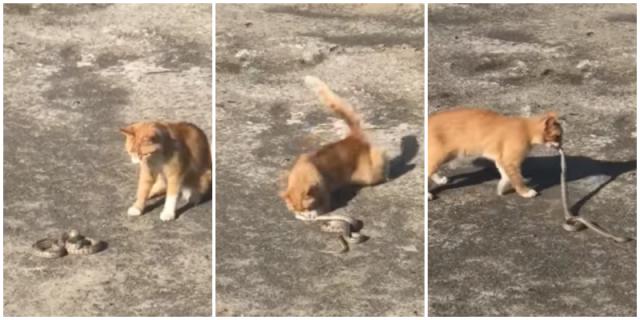 Видео: Рыжий уличный кот обезвредил змею, из-за которой эвакуировали людей