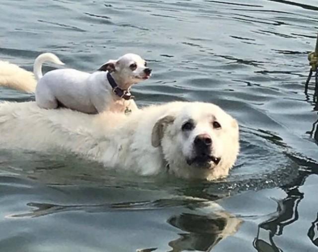 Хитрый чихуахуа приучился кататься верхом и плавать на своем друге лабрадоре. Видео