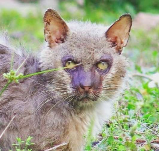 Во Флориде спасли кота, похожего на оборотня...