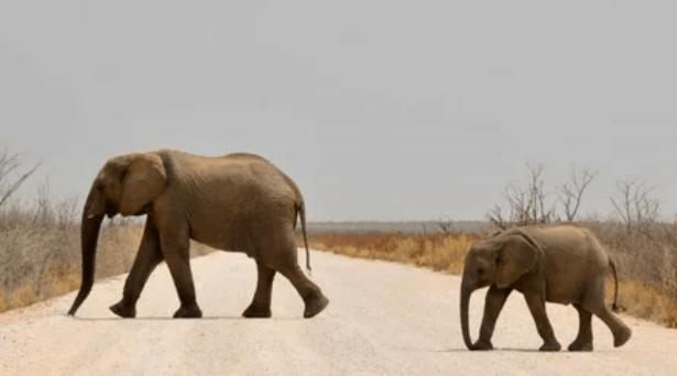 Малыш-слоненок заснул у человека на коленках: очень трогательное Видео!