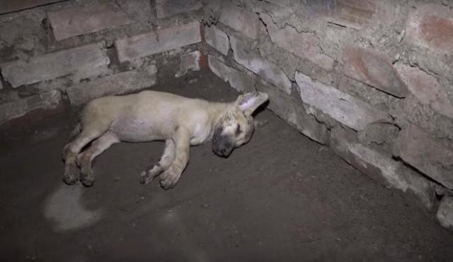В полуразрушенном доме лежал щенок. Малыш был ослаблен.,голоден и неподвижен, а вокруг не оказалось ни души! Видео!