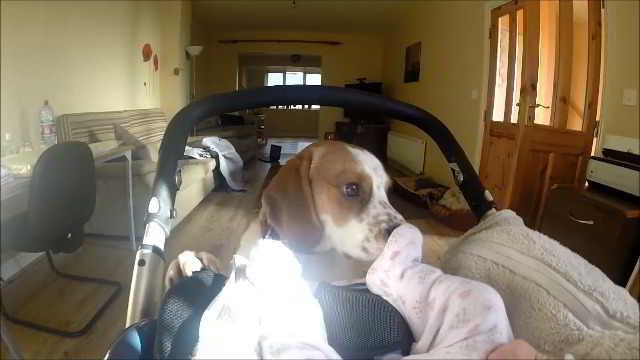 Собака с нетерпением ожидала появления нового члена семьи – посмотрите на её реакцию, когда мама открывает дверь и они впервые встречаются — Видео!