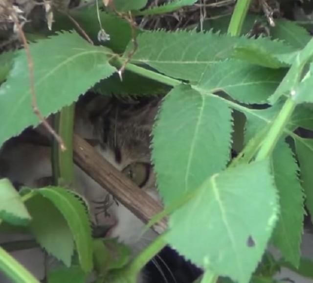 В саду появилась худенькая хромая кошка. Она была мамой, но где-то прятала котят. Видео!