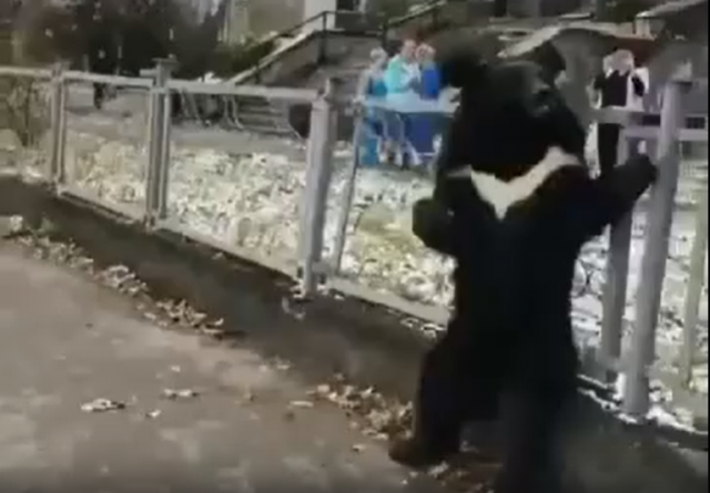 Медвежонок плачет: косолапого из цирка-шапито привязали к забору поликлиники в Бодайбо для рекламы...Видео!