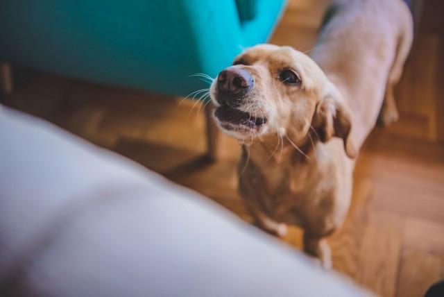 Кчему воет собака: приметы