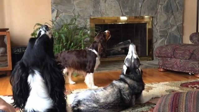 Почему собака воет: причины и приметы