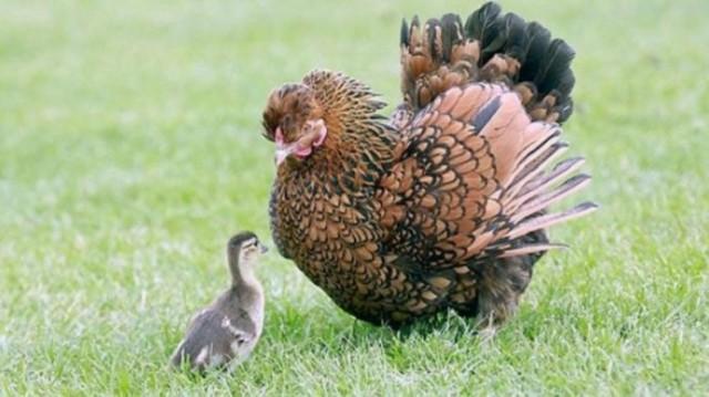 «Да, я обычная курица! А это — мои дети!» Курам тоже свойственно проявлять материнские инстинкты…