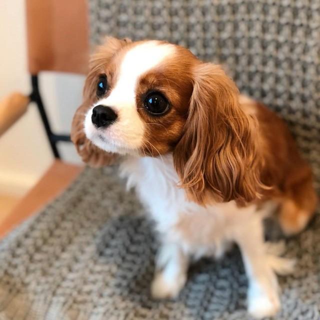 Взрослый спаниель по кличке Несса выглядит как крошечный щенок, и покоряет сердца своими маленькими размерами